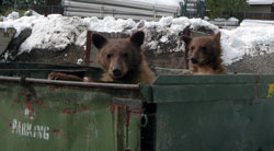 Bear cubs in a dumpster and snow in background